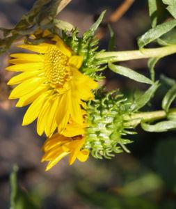 Kraeftige Grindelie Bluete gelb Grindelia robusta 08
