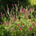 Zurück zum kompletten Bilderset Kronen-Lichtnelke Blüte pink Silene coronaria
