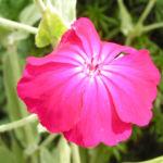 Kranz Lichtnelke Bluete pink Silena coronaria 04