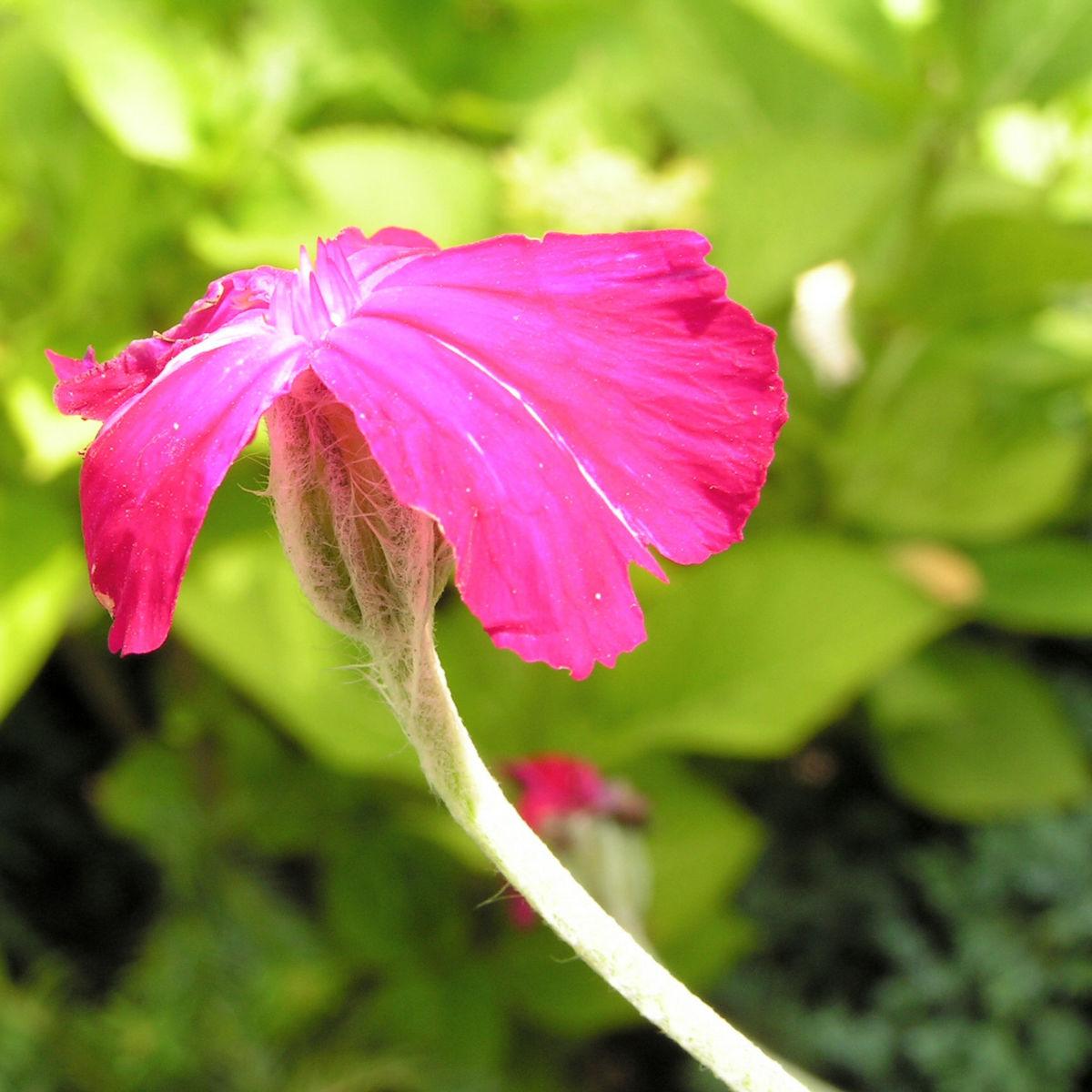 Kranz Lichtnelke Bluete pink Silena coronaria