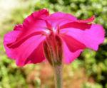 Kranz Lichtnelke Bluete pink Silena coronaria 06