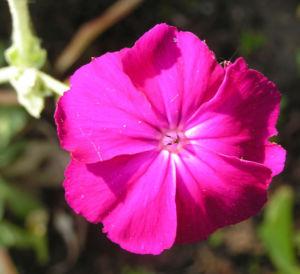 Kranz Lichtnelke Bluete pink Silena coronaria 08