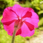 Kranz Lichtnelke Bluete pink Silena coronaria 10