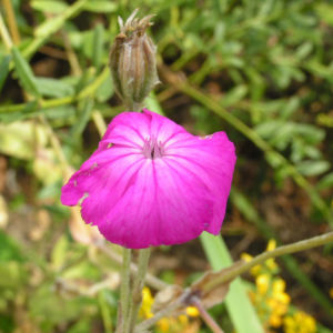 Kranz Lichtnelke Bluete pink Silena coronaria 11