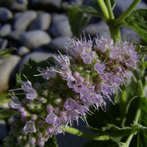 Krauseminze Bluetendolde Mentha spicata 03