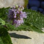 Krauseminze Bluetendolde Mentha spicata 04