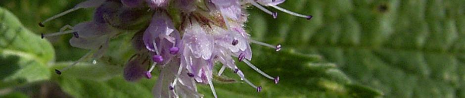 Anklicken um das ganze Bild zu sehen  Grüne Minze Krause Minze Blütendolde Mentha spicata