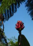 Krepp Ingwer Ginger Bluete weiss rot Cheilocostus speciosus 01