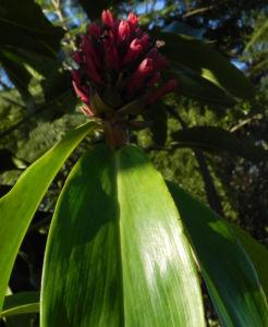 Krepp Ingwer Ginger Bluete weiss rot Cheilocostus speciosus 03
