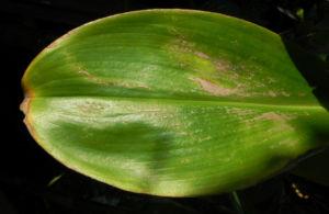 Krepp Ingwer Ginger Bluete weiss rot Cheilocostus speciosus 04