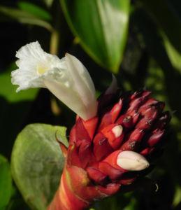 Krepp Ingwer Ginger Bluete weiss rot Cheilocostus speciosus 05