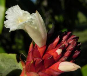 Bild: Krepp Ingwer Ginger Bluete weiss rot Cheilocostus speciosus
