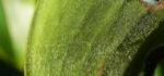 Krepp Ingwer Ginger Bluete weiss rot Cheilocostus speciosus 07