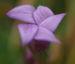 Zurück zum kompletten Bilderset Kreuz-Enzian Blüte violett Gentiana cruciata