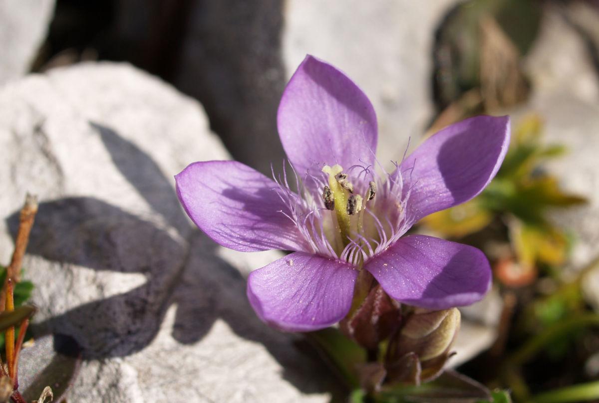 Kreuz Enzian Bluete violett Gentiana cruciata