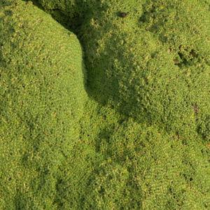Kreuz Sandkraut Moos Polster gruen Arenaria tetraquetra var granatensis 02