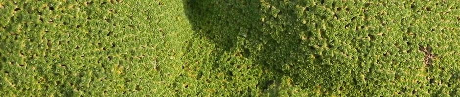 granada-sandkraut-moos-polster-gruen-arenaria-tetraquetra-var-granatensis