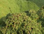 Kreuz Sandkraut Moos Polster gruen Arenaria tetraquetra var granatensis 03
