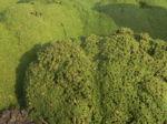 Kreuz Sandkraut Moos Polster gruen Arenaria tetraquetra var granatensis 04