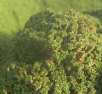 Bild: Granada-Sandkraut Moos Polster grün Arenaria tetraquetra var granatensis