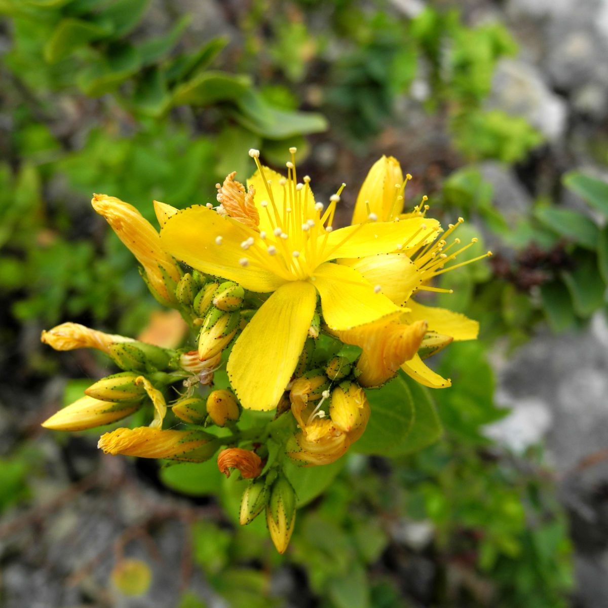 Kreuzblaettriges Johanniskraut Bluete gelb Hypericum reflexum