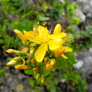 Kreuzblaettriges Johanniskraut Bluete gelb Hypericum reflexum 01