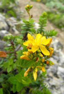 Kreuzblaettriges Johanniskraut Bluete gelb Hypericum reflexum 06