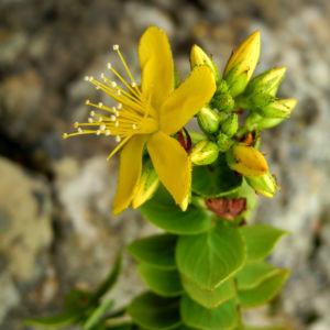 Kreuzblaettriges Johanniskraut Bluete gelb Hypericum reflexum 07