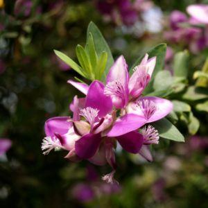 Kreuzblume Blüte pink Polygala myrtifolia