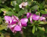 Kreuzblume Blüte pink Polygala myrtifolia 03
