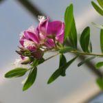Kreuzblume Blüte pink Polygala myrtifolia 04