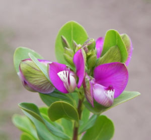 Kreuzblume Halbstrauch Bluete pink Polygala myrtifolia 05