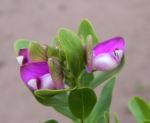 Kreuzblume Halbstrauch Bluete pink Polygala myrtifolia 10