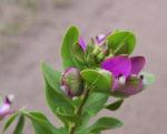Bild: Kreuzblume Blüte pink Polygala myrtifolia