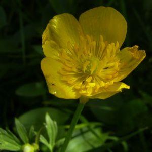 Kriechender Hahnenfuss Ranunculus repens 01