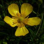 Kriechender Hahnenfuss Ranunculus repens 04