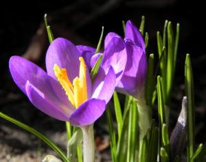 Krokus Bluete lila Crocus hybride 03