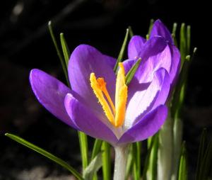 Krokus Bluete lila Crocus hybride 05