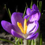 Krokus Bluete lila Crocus hybride 06