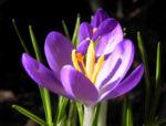 Krokus Bluete lila Crocus hybride 10