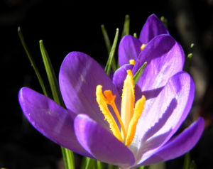 Krokus Bluete lila Crocus hybride 11