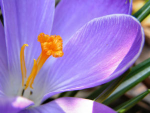 Krokus Bluete lila Crocus speciosus 01