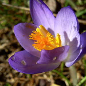 Krokus Bluete lila Crocus speciosus 02