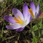 Krokus Bluete lila Crocus speciosus 03