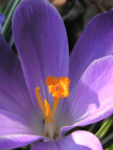 Krokus Bluete lila Crocus speciosus 05
