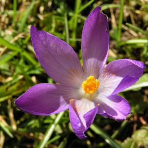 Krokus Bluete schmal lila Crocus 01