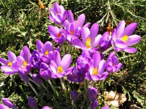 Krokus Bluete schmal lila Crocus 02