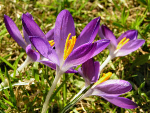 Krokus Bluete schmal lila Crocus 03