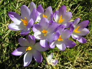 Krokus Bluete schmal lila Crocus 04