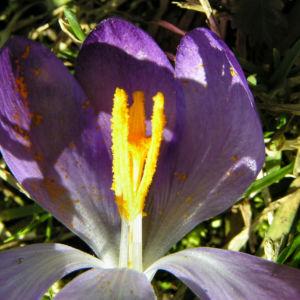 Krokus Bluete schmal lila Crocus 05